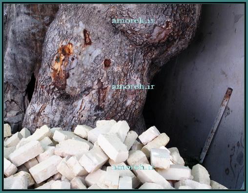 چنار آمره کهنسال ترین درخت استان قم